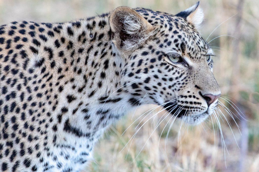 Leopard portrait (image by Mark Beaman)