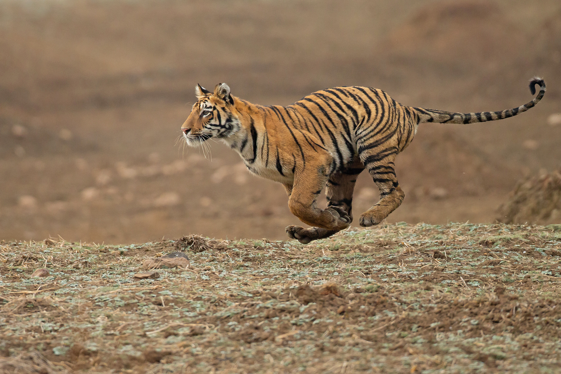 India: Tiger and Wildlife Spectacular Tour Report 2019 - Wild Images