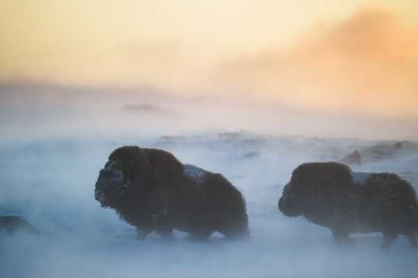 Winter Musk Oxen can be spectacular!