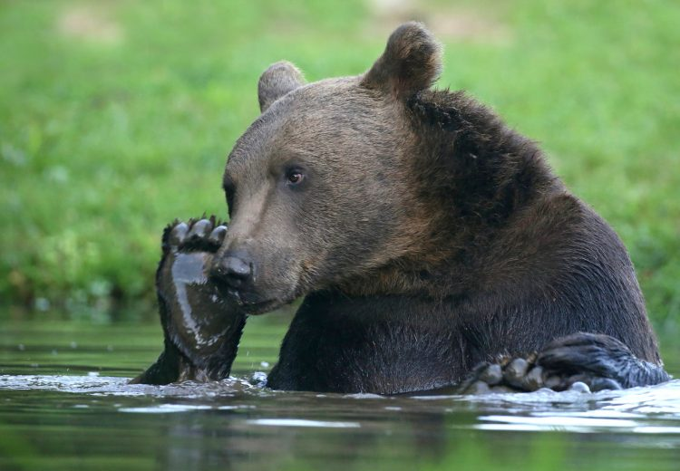 A Brown Bear taking a bath on a wildlife photography tour of Transylvania in Romania