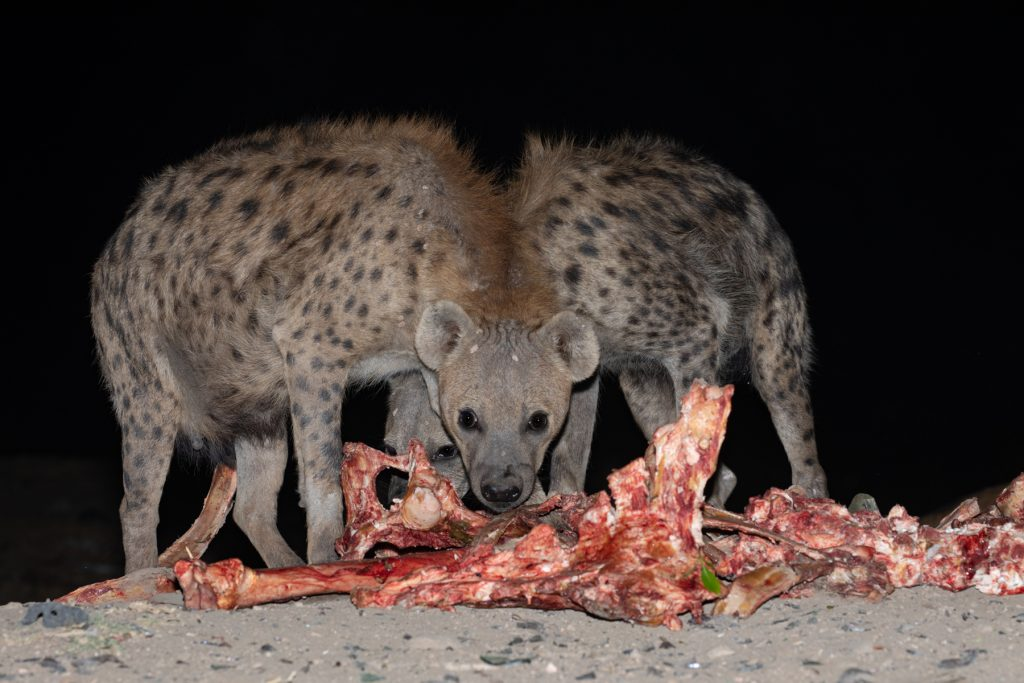 Two Spotted Hyenas munch through the bones put out by the Hyena Men of Harrar