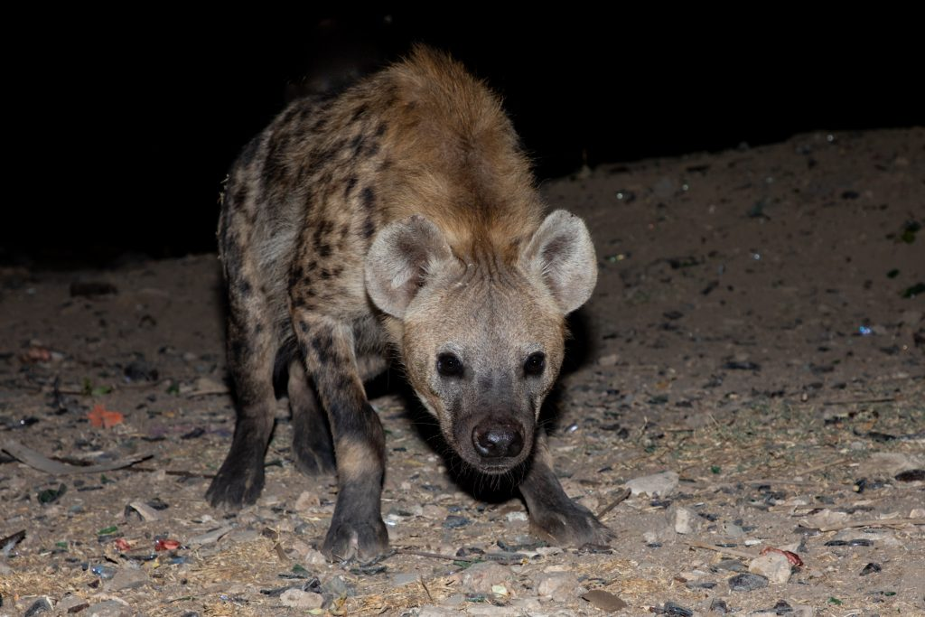 Not all the hyenas are bold enough to join the pack around the Hyaena Man at Harar
