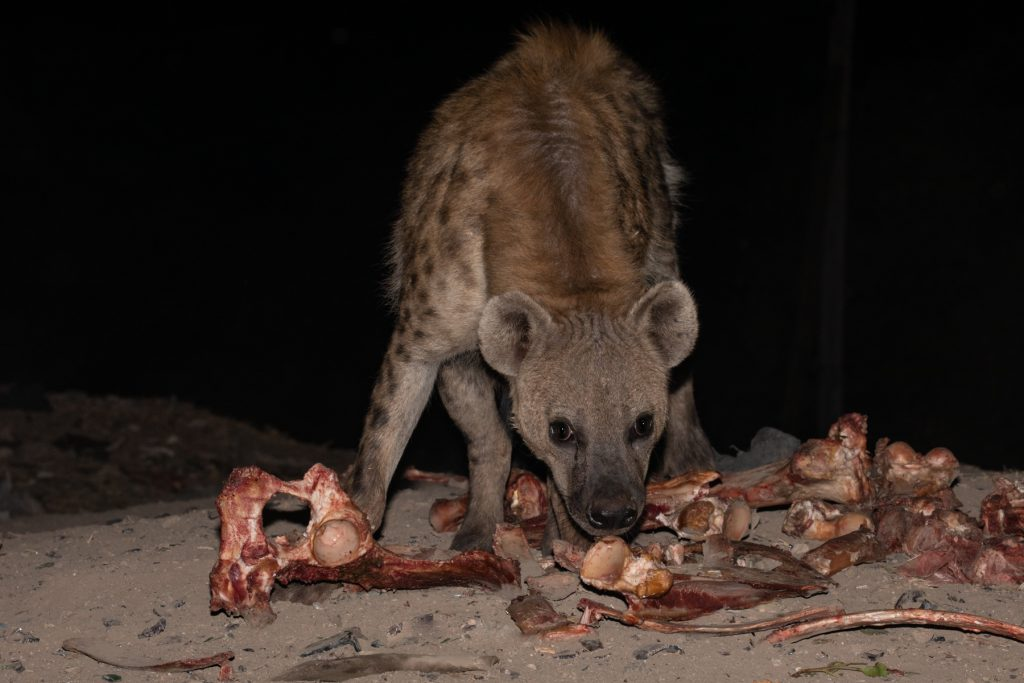 A wary Hyena chews some of the bones put out by the Hyena Men of Harar