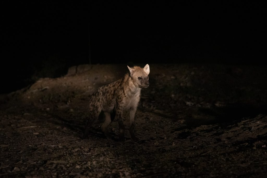 A Hyena emerges from the gloom and approaches one of the Hyena Men of Harrar