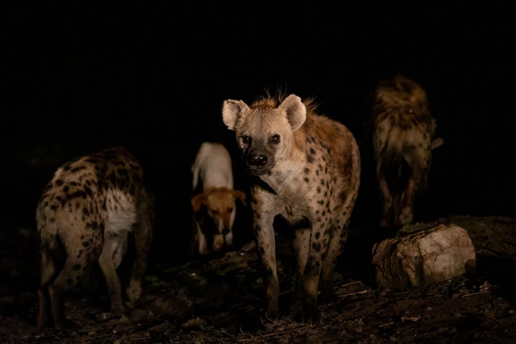 Spotted Hyaenas at Harar are remarkably tolerant of the feral dogs that join them for dinner