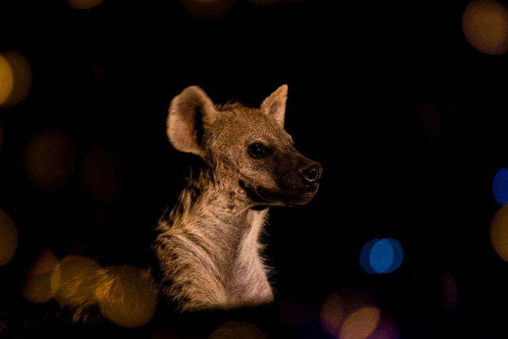 A Spotted Hyena awaits the arrival opf one of the Hyena Men of Harrar