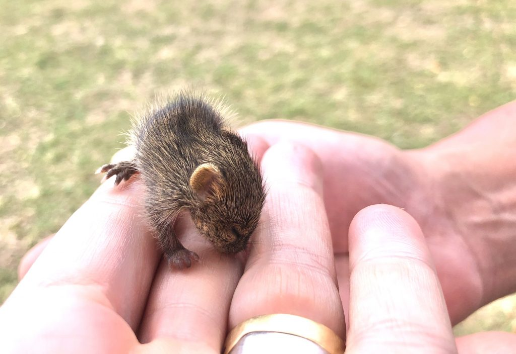 A baby Grass Rat lost its way during the maelstrom of the crossing (Image by Inger Vandyke)