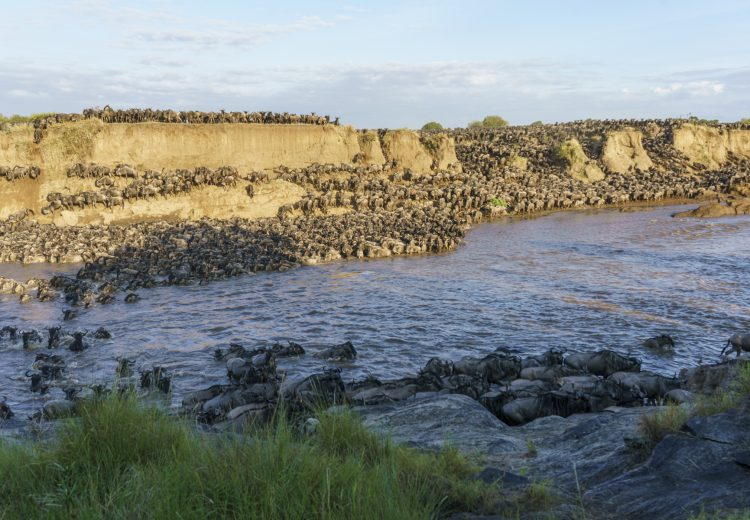 The huge wildebeest crossing at Entim on 20 August 2020 (image by Mark Beaman)