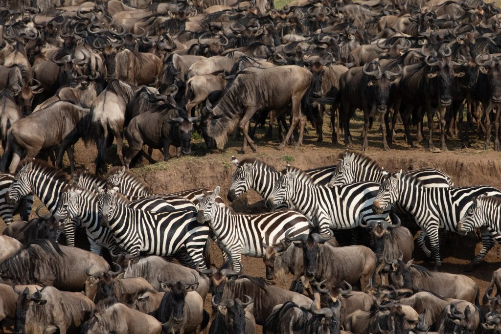 Lines of animals gather to cross at Chinese Hill in the Mara (Image by Inger Vandyke)