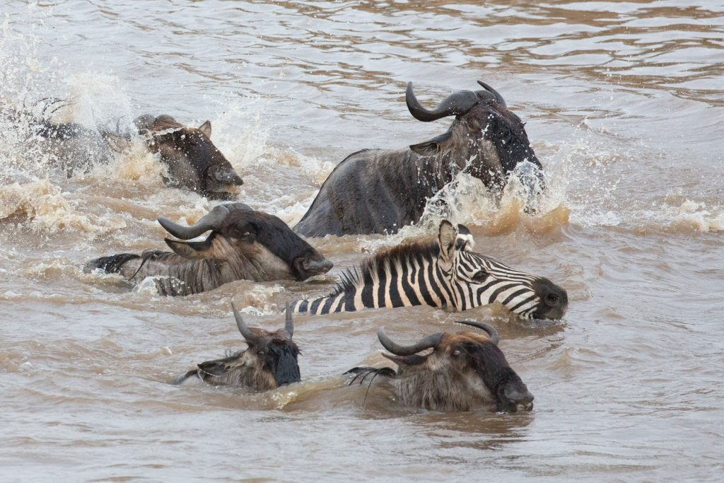 A Plains Zebra crosses the river with the wildebeest - safety in numbers (Image by Inger Vandyke)