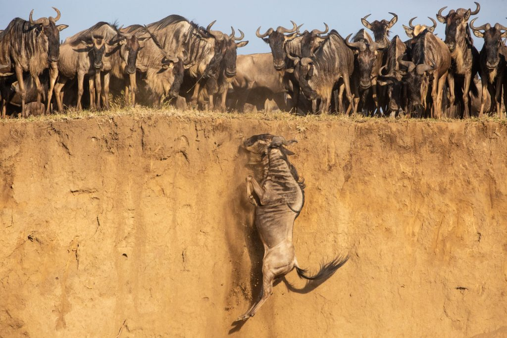 A wildebeest falls backward, succumbing to the backward pressure of the herd at the cliff edge (Image by Inger Vandyke)