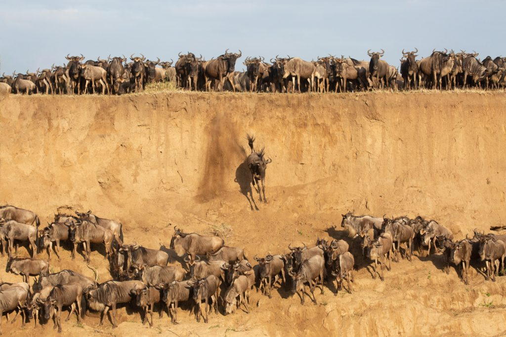 A wildebeest plunges off a cliff in the pressure of a crossing (Image by Inger Vandyke)