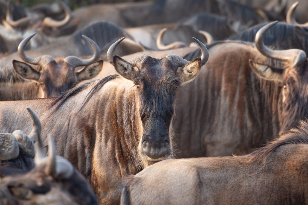 Portrait of an adult wildebeest waiting in the herd to cross the Mara River (Image by Inger Vandyke)