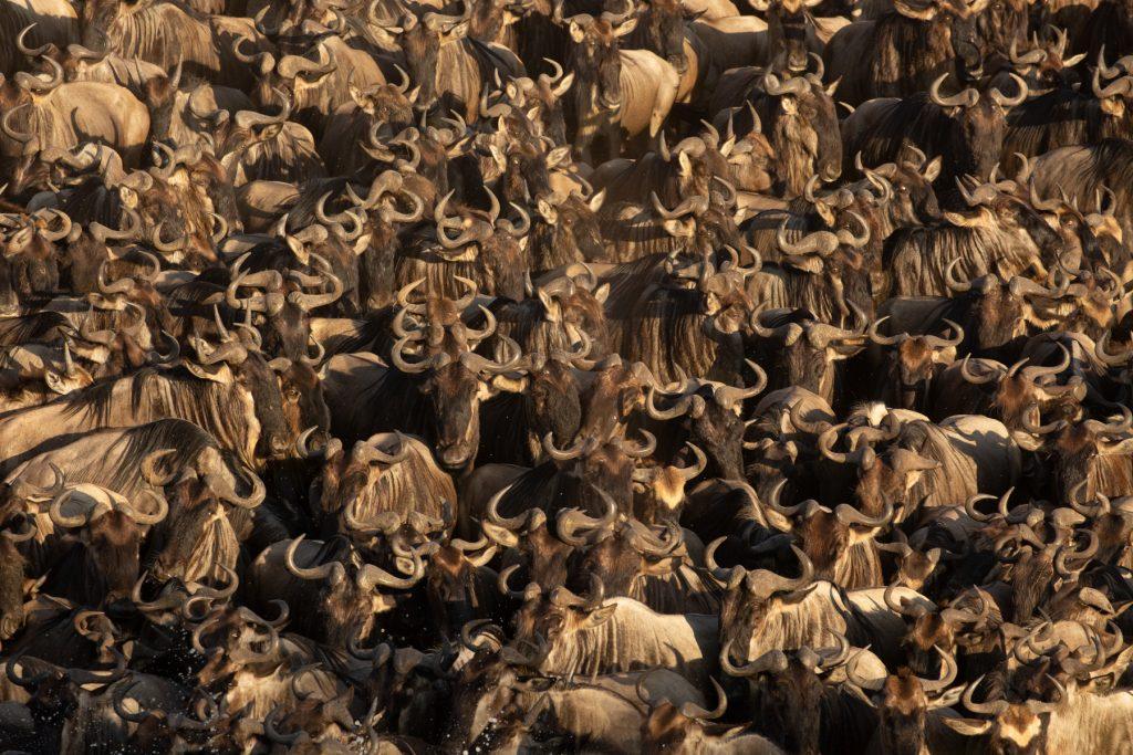 A sea of horns in a gigantic herd of wildebeest (Image by Inger Vandyke)