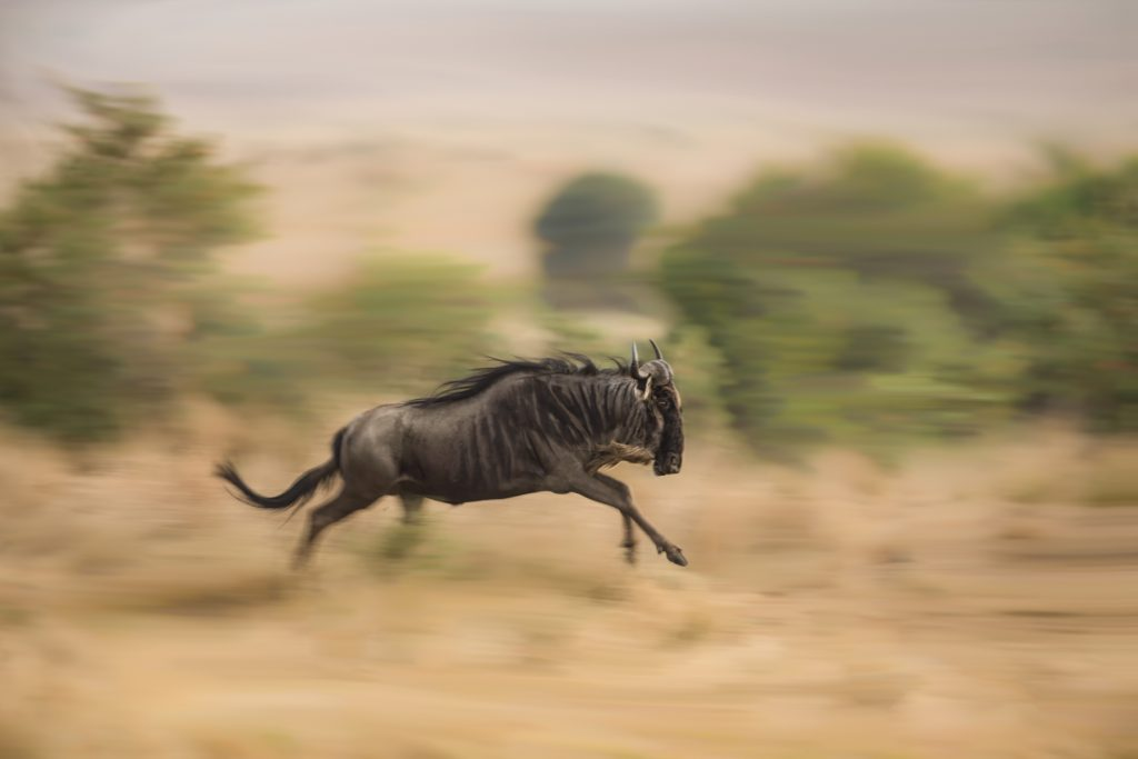 An adult wildebeest races towards the Mara River to join a crossing Learn how to capture stunning motion blur photos during our Kenya's Maasai Mara photography tour (Image by Inger Vandyke)