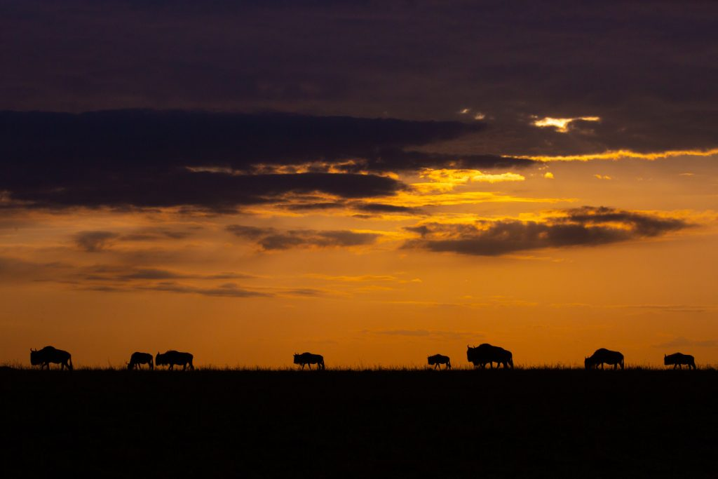 A herd of wildebeest on the move at sunrise (Image by Inger Vandyke)