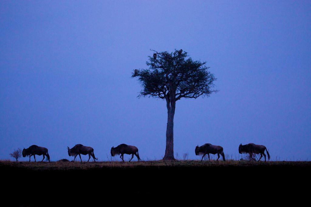 Blue hour with Blue Wildebeest in Kenya's Maasai Mara National Reserve (Image by Inger Vandyke)