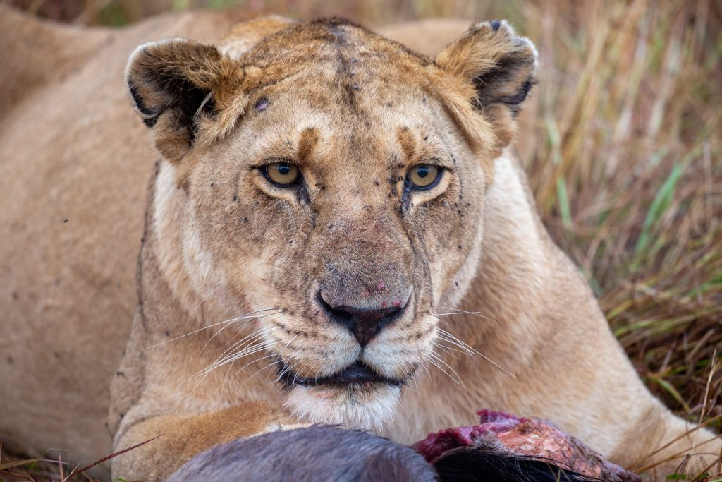 The icy stare of a lioness protecting her prey of a young wildebeest that died during a crossing (Image by Inger Vandyke)