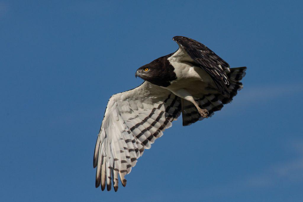 A Black-chested Snake Eagle takes flight (image by Inger Vandyke)