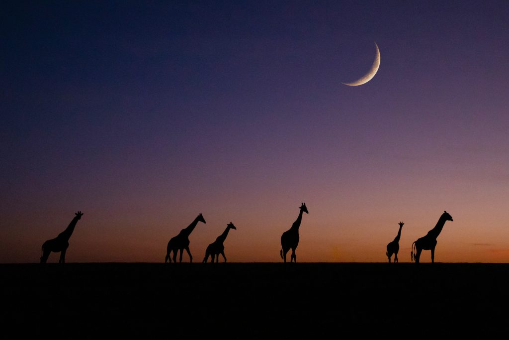 Composite image of giraffes at sunrise. Those bumpy rides in the dark are nearly always worth it after a clear sky night (image by Inger Vandyke)