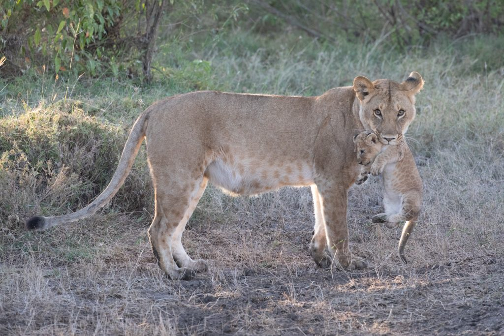 A lioness carries her cub in her mouth (image by Inger Vandyke)