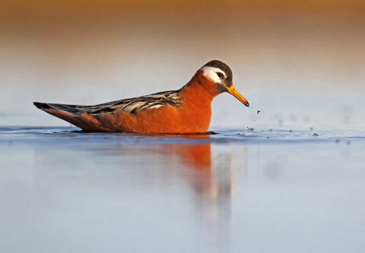 An eye-level Red Phalarope at Barrow (image by Dani Lopez Velasco)